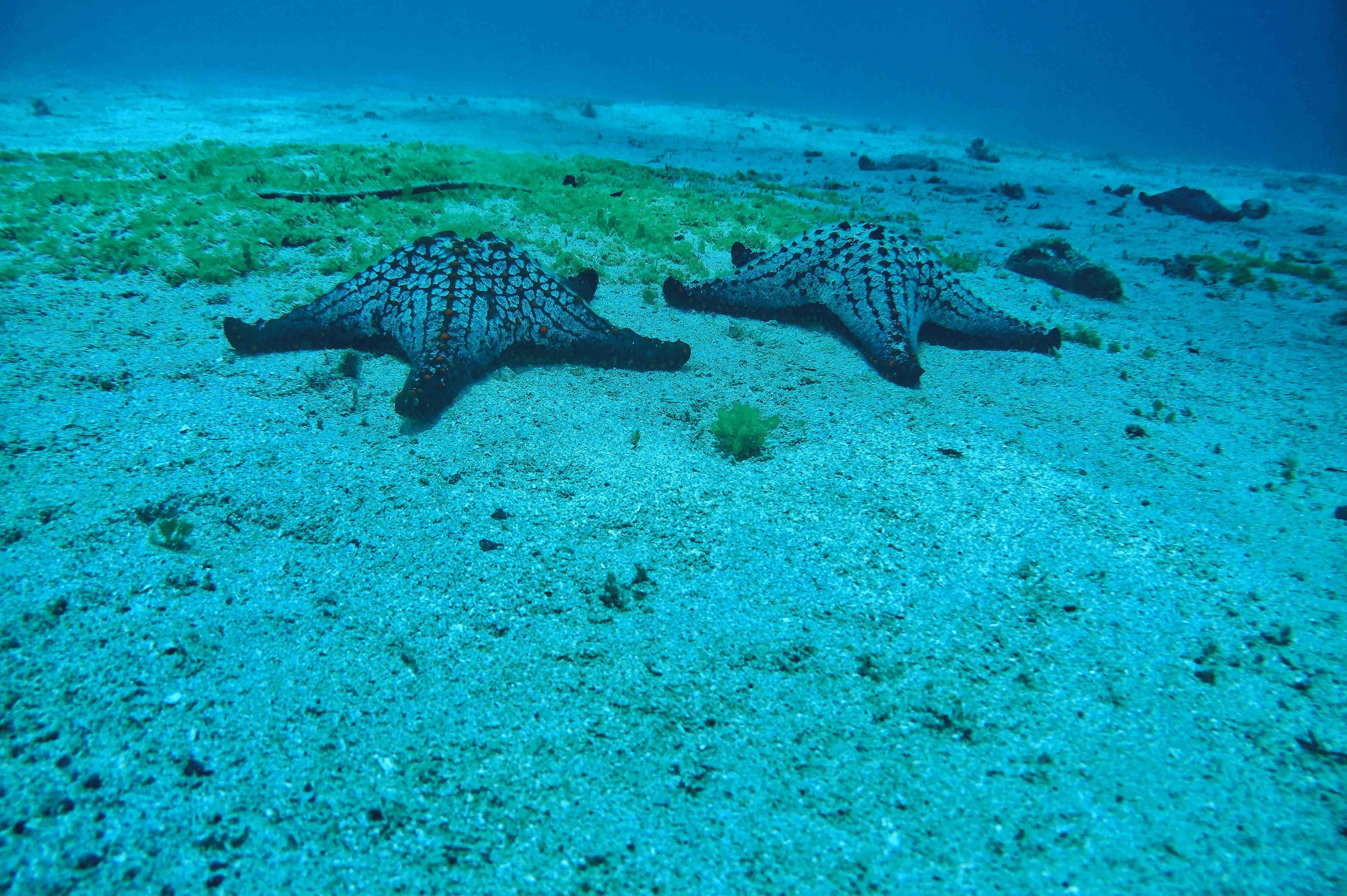 Imagen de dos estrllas de mar en el fondo marino de isla Coiba
