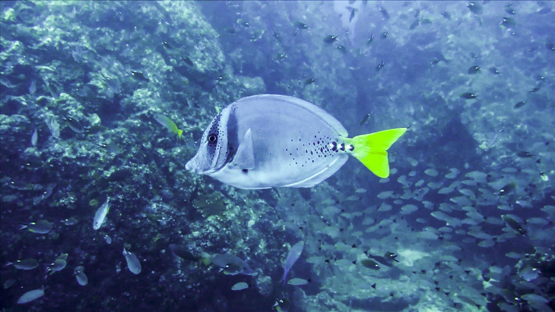Imagen buceo de pez cola amarilla tour Isla Coiba Unlimited Adventures