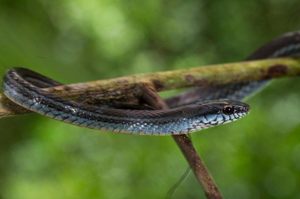 Impresionante serpiente en isla Coiba